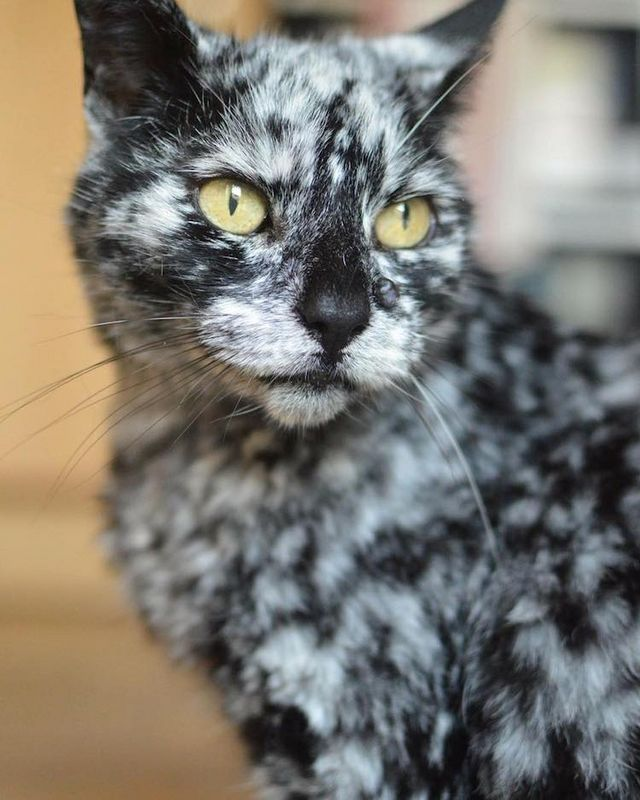 19 Year Old Cat S Rare Skin Condition Changes Black Fur