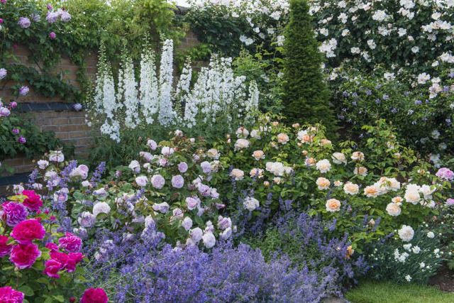 Above Rosa Olivia Rose Austin Ausmixture Is 29 95 For Us Pers And 16 50 In The Uk Lady Gardener Ausbr Shown At Right 27